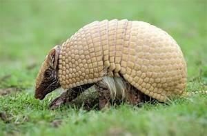 Fauna brasileira: espécies em extinção na caatinga ...