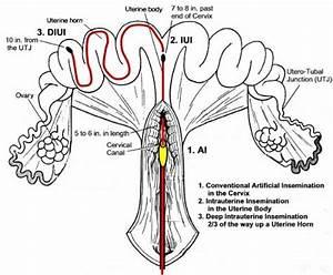 Intrauterine  Transcervical  Insemination In Swine