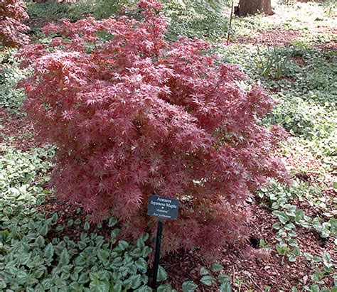 weeping japanese maple varieties japanese maple red weeping aratama 10 quot pot hello hello plants garden supplies