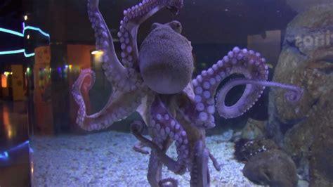 aquarium sud de la el pulpo aquarium finisterrae la coru 209 a espa 209 a