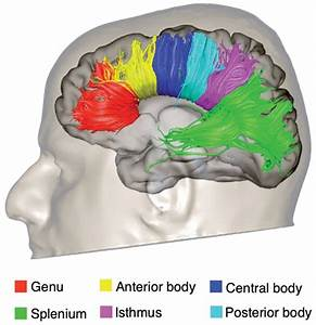 Tractography Reconstruction Of The Segments Of The Corpus