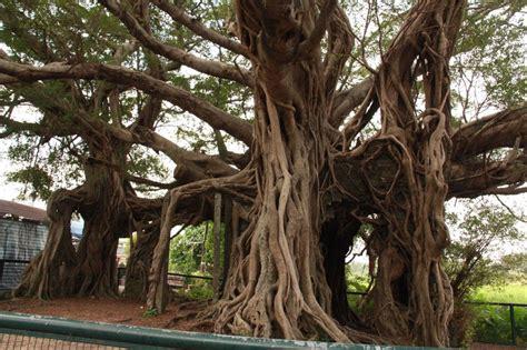 large banyan tree  built  house photo