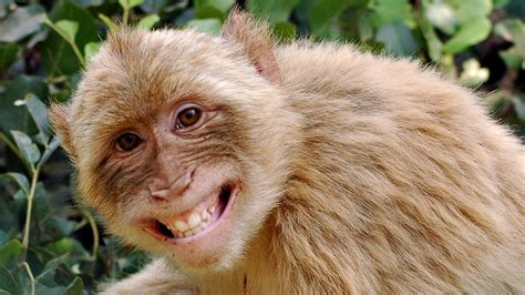 Funny Monkey Wallpapers  Wallpaper Cave
