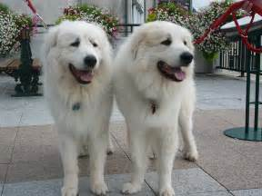 pianese flowers two great pyrenees dogs wallpapers and images wallpapers