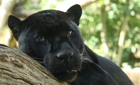 Shaman Way Black Panther