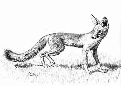 Sketch Fox Coloring Pages Kit Feet Walking