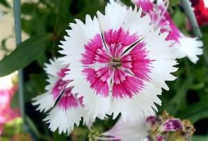 Fleur Rose Et Blanche : photographie de fleur blanche et rose ~ Dallasstarsshop.com Idées de Décoration