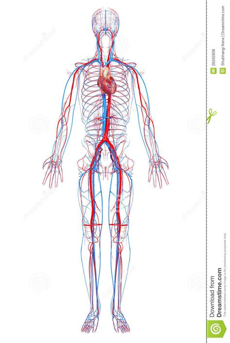 Human Clipart Cardiovascular System  Pencil And In Color Human Clipart Cardiovascular System