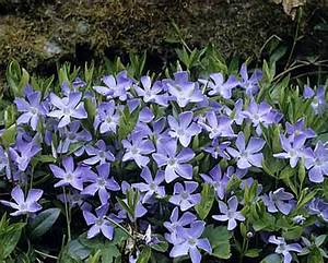Bodendecker Blau Blühend Winterhart : bodendecker vinca minor 3 ~ Michelbontemps.com Haus und Dekorationen