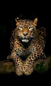 Leopard iPhone Wallpapers   Jaguar animal, Wild animal ...