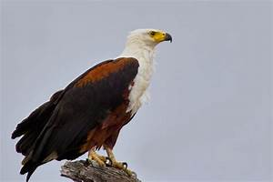 African fish eagle - a photo on Flickriver
