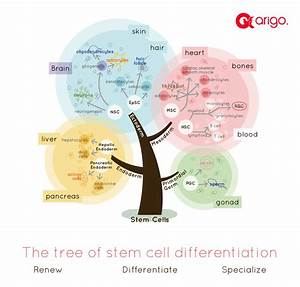 The Tree Of Stem Cell Differentiation