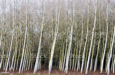 Aligned And Inclined Poplars Stock Photo - Download Image Now - iStock