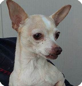 Las vegas nv chihuahua mix meet princess a dog for for Dog rescue las vegas nv