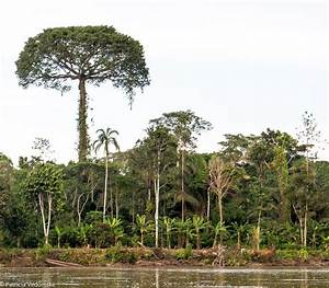 Kapoks are the tallest trees in the forest and can grow to ...