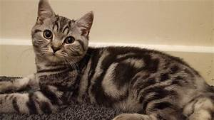 British shorthair silver tabby kittens | in Leicester ...