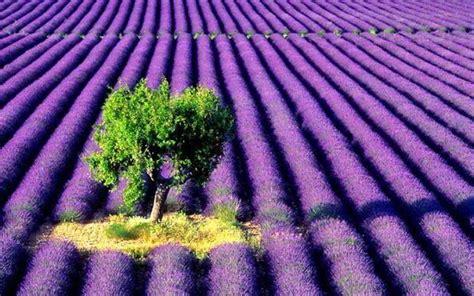 Beautiful Lavender Farm