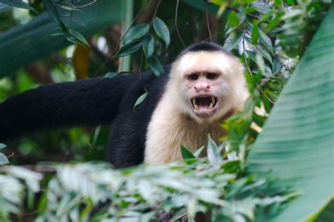 capuchin monkey pet white faced capuchin