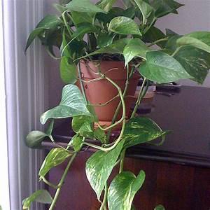 Fausse Plante Verte : plante grimpante persistante liste ooreka ~ Teatrodelosmanantiales.com Idées de Décoration