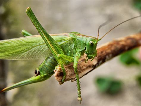 grasshopper green  yellow  stock photo