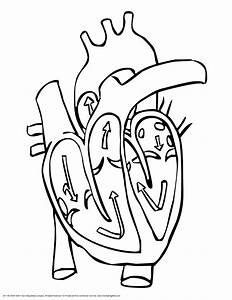 Human Heart Colouring Pages