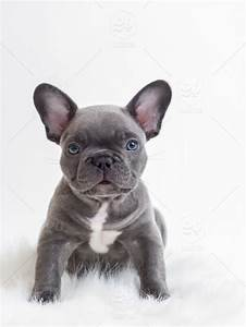 Blue French Bulldog Puppies For - Dog & Puppy