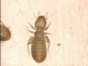Insecte De Maison : liposcelis sp insecte minuscule dans la maison le ~ Melissatoandfro.com Idées de Décoration