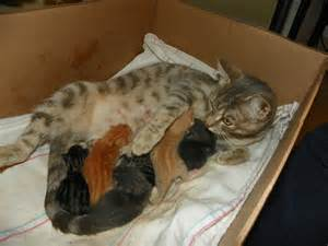 gestation for cats with cats