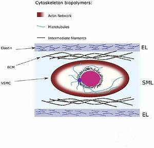 Mechanical Contribution Of Vascular Smooth Muscle Cells In
