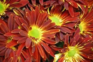 Free Wallpaper Fall Mums Flowers