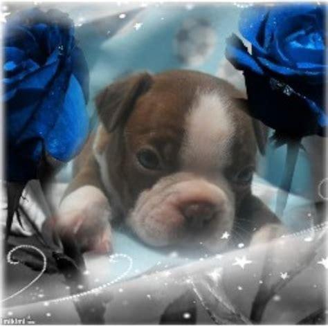 Argos Kennels Boston Terrier Breeder In Empire Alabama