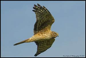 Female Northern Harrier by AirshowDave on DeviantArt