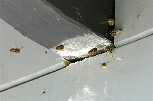 Schwarze Wespe Deutschland : wespenbek mpfung wespennest entfernen f r k ln preventa kammerj ger k ln ~ Whattoseeinmadrid.com Haus und Dekorationen