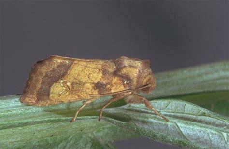 http://www.agraria.org/entomologia-agraria/nottua-del-carciofo.htm