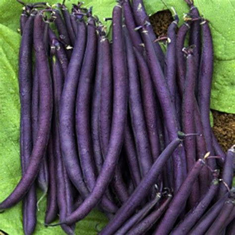 feve cuisine haricot nain purple phaseolus vulgaris