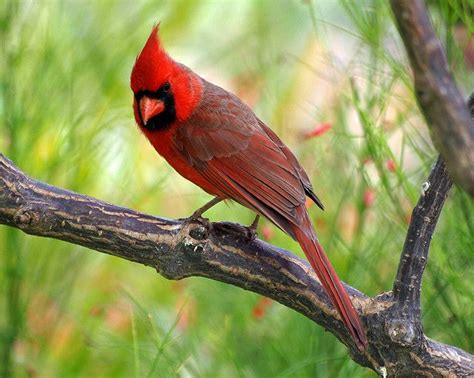 191 Best Images About Cardinals On Pinterest