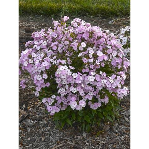 light pink flowers proven winners opening act blush phlox live plant light