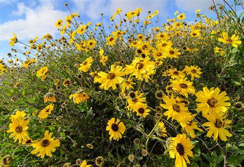 sunflowers message california bush sunflower encelia californica