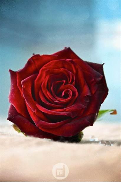 Roses هانم سمر Grey Lilyas Paradise Deviantart
