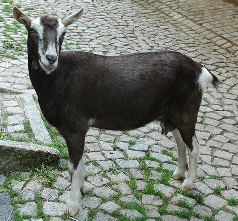 goat breeds list of goat breeds