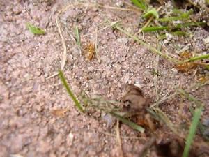 Rote Ameisen Im Rasen : ameisen im garten ameisen im garten ameisen im hochbeet ~ Lizthompson.info Haus und Dekorationen