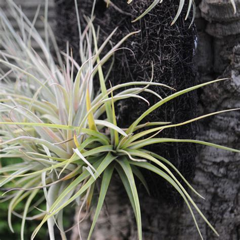 plants grow in air how to grow air plants tillandsia gardener s supply