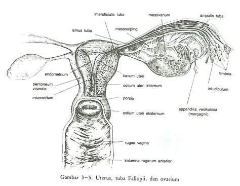 Anatomi Rahim Wanita Hamil Anatomi Dan Fisiologi Organ Reproduksi Wanita Interna