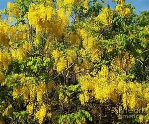 Golden Rain Tree In Full Bloom Photograph by Yali Shi