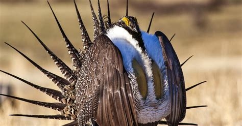 obama era greater sage grouse protections face
