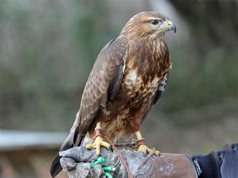 A Guide To British Birds Of Prey