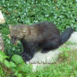 where do fisher cats live fisher cat sounds and cats gallery