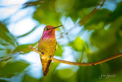 JasonStewart_Annas_Hummingbird - BirdWatching
