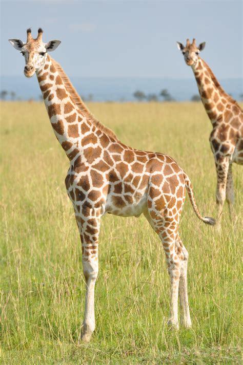 GiraffeSpotter - Wildbook for Giraffe