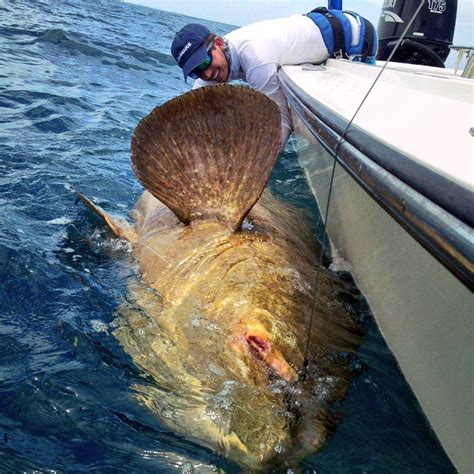 grouper goliath blacktiph caught monster status